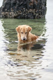 Dog sitting in the water to catch a fish Royalty Free Stock Photos