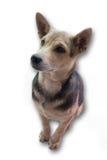 Dog. Sitting dog with white background stock images