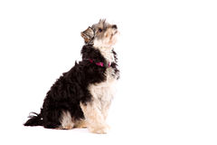Dog sitting on a white surface Royalty Free Stock Image