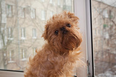 Dog  sitting on the window Royalty Free Stock Photo