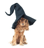 Dog sitting in a witches hat and looks impressive Stock Image