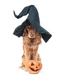 Dog sitting in a witches hat and looks impressive stock photography