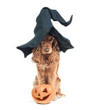 Dog sitting in a witches hat and looks impressive Stock Photos