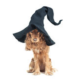 Dog sitting in a witches hat and looks impressive Royalty Free Stock Photos