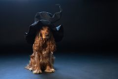 Dog sitting in a witches hat Stock Images