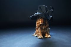 Dog sitting in a witches hat Stock Image