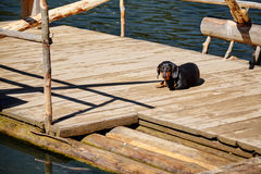 Dog sitting on the wooden ferry Stock Images