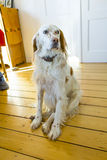 Dog sitting at the wooden floor in the dining room Stock Images