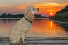 Dog sitting on a wooden pier on the lake stock photography