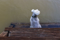The dog sitting on Wooden stairs. The dog sitting on Wooden stairs at Waterfront home Royalty Free Stock Photography