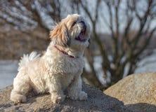 Dog sitting and yawns. Dog sitting on a rock and yawning stock photo