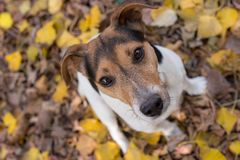 PORTRAIT OF A JACK RUSSELL IN AUTUMNAL LANDSCAPE royalty free stock photography