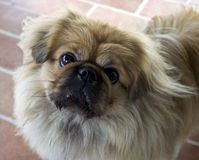 Dog size small. Eyed sweet Royalty Free Stock Image