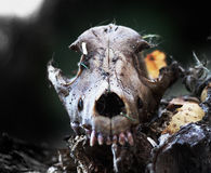 Dog skallen i skogen, läskig grungetapet anmärkningar för bakgrundsslagträhalloween månsken värdedödsängel mördare SPÖKLIK FASA royaltyfria foton