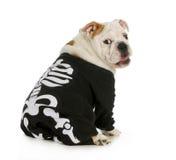 Dog skeleton. English bulldog wearing skeleton costume with funny expression stock photography