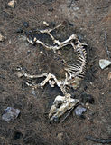 Dog skeleton. A skeleton of dead dog Royalty Free Stock Photography