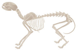 Dog skeleton Stock Images