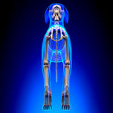 Dog Skeleton - Canis Lupus Familiaris Anatomy - back view.  stock photo
