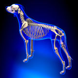 Dog Skeleton - Canis Lupus Familiaris Anatomy - perspective view royalty free illustration
