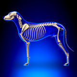 Dog Skeleton - Canis Lupus Familiaris Anatomy - side view.  royalty free stock photography