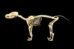 Dog skeleton model Stock Photos