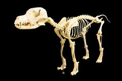 Dog skeleton model Royalty Free Stock Image