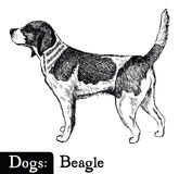 Dog Sketch style Beagle Stock Photography