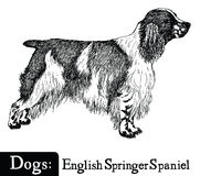 Dog Sketch style English Springer Spaniel Royalty Free Stock Image