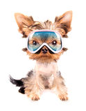Dog with ski mask Stock Image