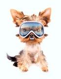 Dog with ski mask Stock Photos