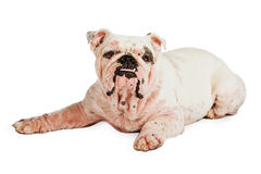 Dog With Skin Infection Royalty Free Stock Images