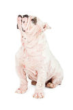 Dog With Skin Rash From Mange Royalty Free Stock Photo