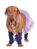 Dog with skirt and leg warmers. Dogue de bordeaux dressed with skirt and leg warmers royalty free stock image