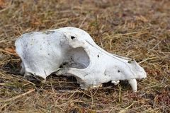 Dog skul canine detail. Grunge dog skull left in the field - intact canine Stock Photo