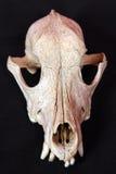 Dog skull stock images