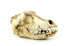 Dog skull Royalty Free Stock Photo