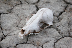 Dog Skull Stock Images