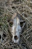 Dog skull on the grass royalty free stock photography