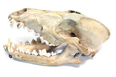 Dog skull Royalty Free Stock Images