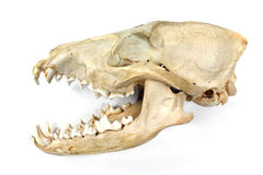 Dog skull and jaw. Isolated on white Royalty Free Stock Photos