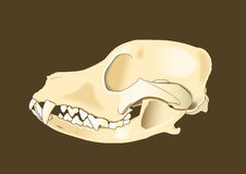 Dog skull lateral. Skull of dog section with bones x ray Royalty Free Stock Photography