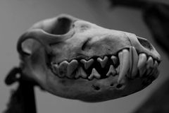 Dog Skull model Stock Photo
