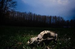 Dog skull. Remains of a dead dog in a forest. The skull is separated from the rest of the skeleton Royalty Free Stock Images