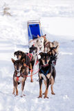 Dog Sled. Sled dogs harnessed up, ready to run Stock Photo