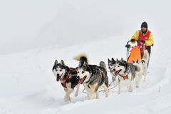 Dog sled competition. Funny dogs, nice faces stock photo