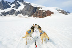 Dog sled competition. Dog sled team in action Royalty Free Stock Photo