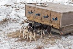 Dog Sled Dogs Gather Around Dog Box Royalty Free Stock Image