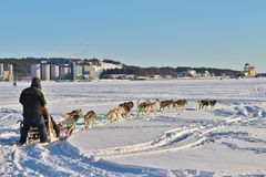 Dog sled on the ice in Luleå Stock Image