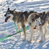 Dog sled on the ice in Luleå Royalty Free Stock Photo