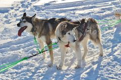 Dog sled on the ice in Luleå Royalty Free Stock Images